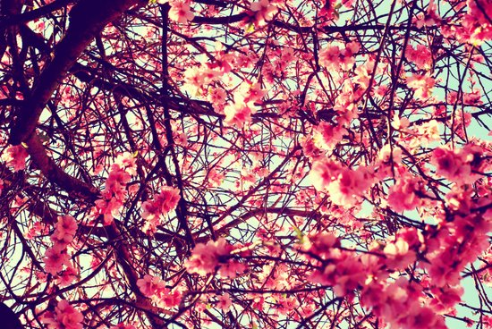 Blossom tree Canvas Print