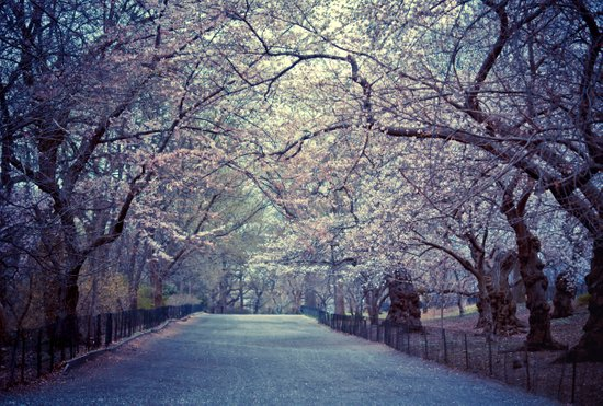 Spring Cherry Blossoms - Central Park Art Print
