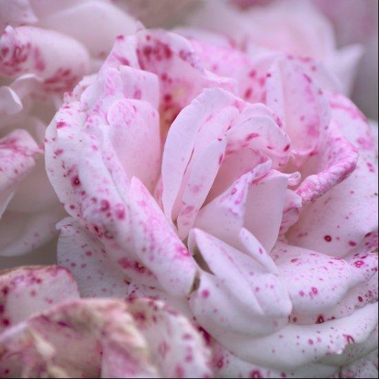 velvet vintage rose  Art Print