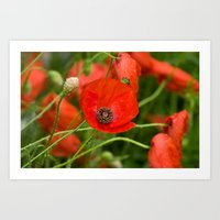 Wild Red Poppies Art Print