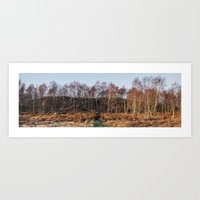 Birch trees basked in warm light at sunset. Upper Padley, Derbyshire, UK. Art Print