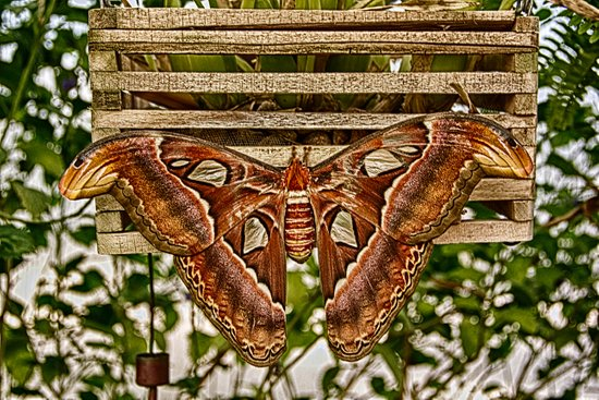 Atlas Moth Art Print