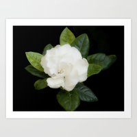 Gardenia in the garden - free shipping Art Print