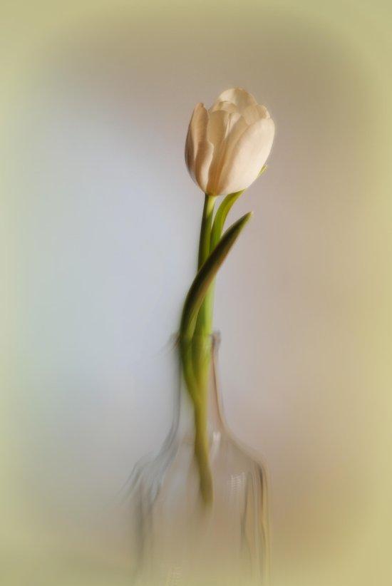 Weisse Tulpe Art Print