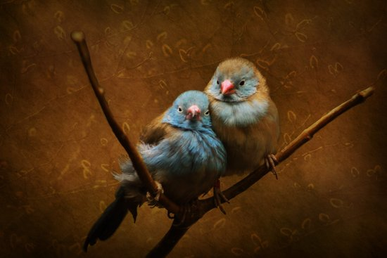 Male and Female Cordon Bleu Canaries Art Print