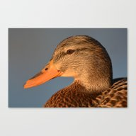 Female Duck Portrait Canvas Print