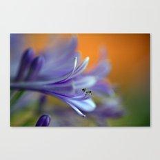 Blue Agapanthus 2786 Canvas Print