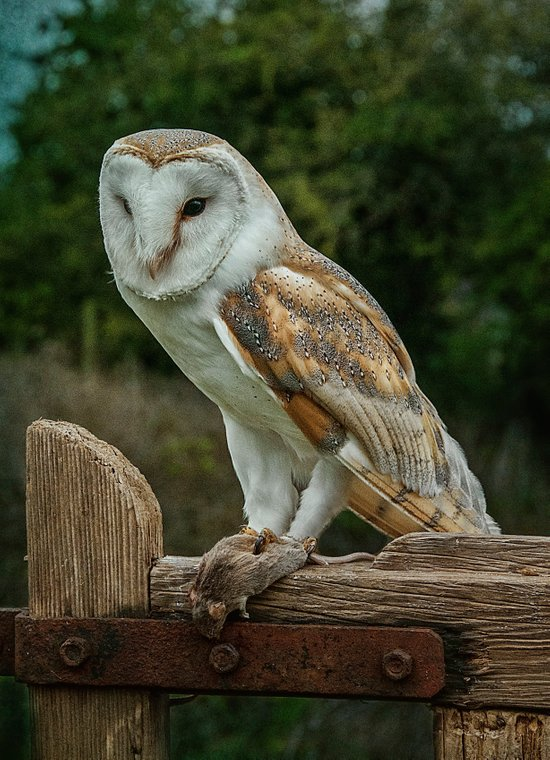 Barn Owl with Supper Art Print