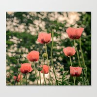 Pink Poppy In Late Evern… Canvas Print