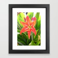 Orange Amaryllis Flower Blooms in Springtime  Framed Art Print