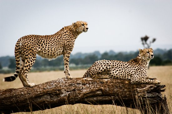 Cheetahs Art Print