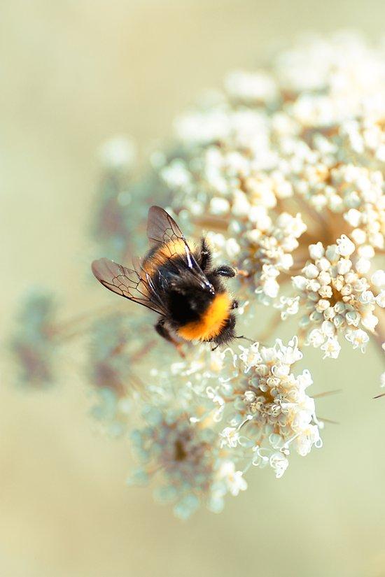 Bumblebee. Art Print