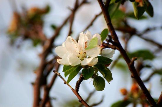 Kirschblüte Art Print