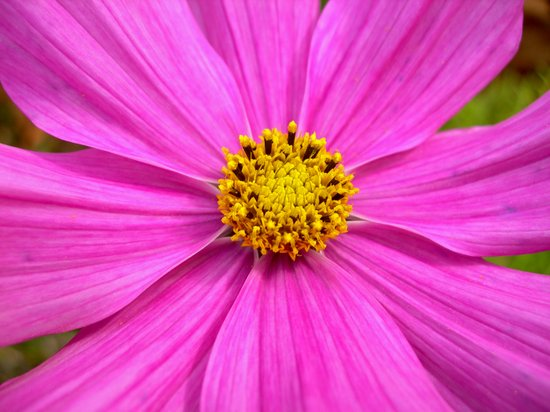 pink cosmos I Canvas Print
