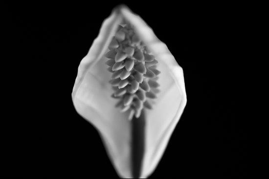 Spathiphyllum wallisii - (Peace Lilly) Art Print