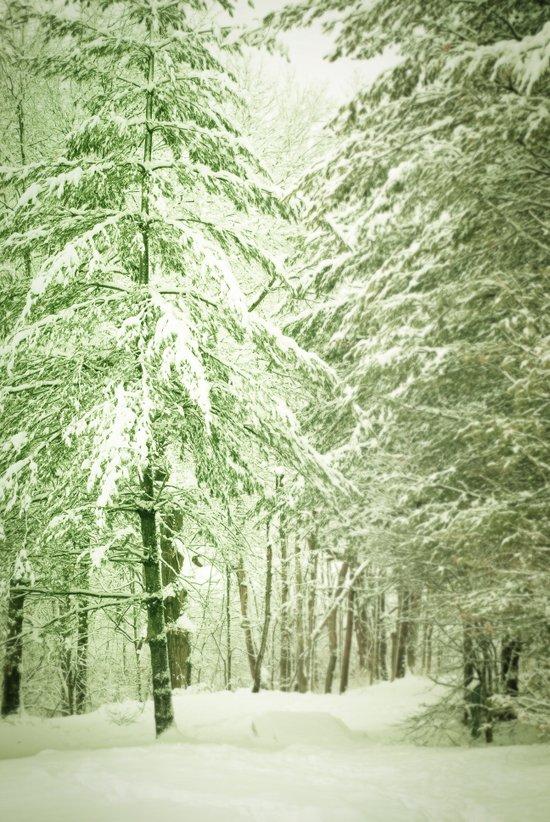 Winter Pine Trees Art Print
