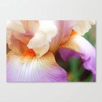 Purple Bearded Iris  Canvas Print