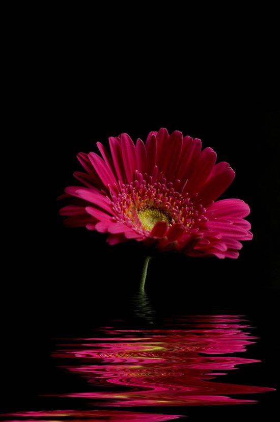 Pink Gerbera Flood 1 Art Print
