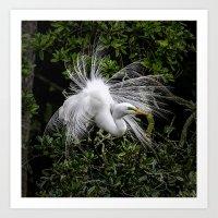 Great Egret displaying Art Print