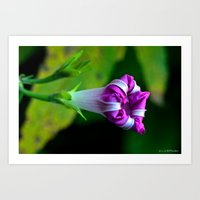 Morning Glory Art Print