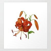 Lilium Tigrinum Art Print