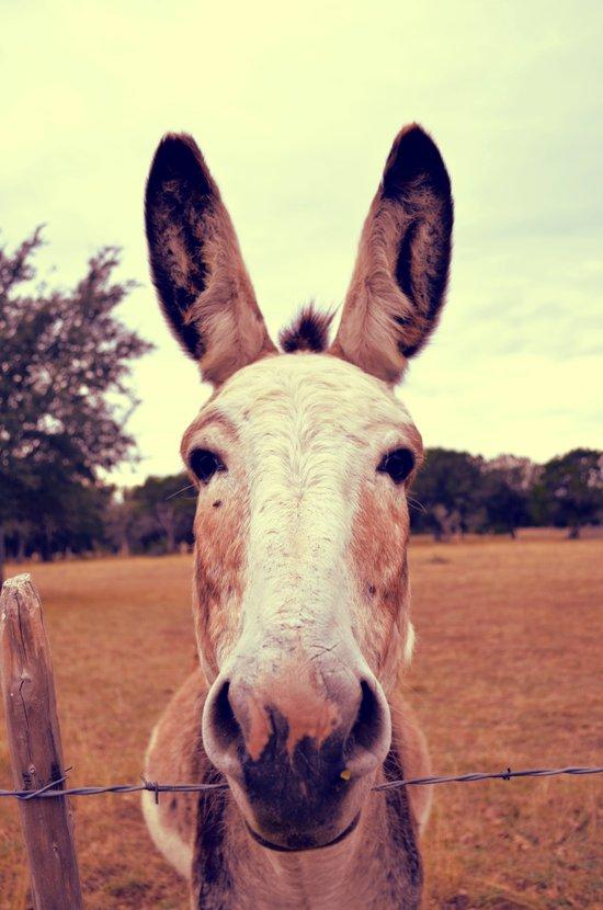 a curious donkey. Art Print