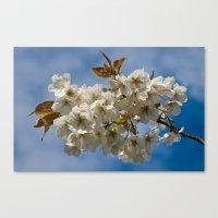 White Cherry Blossom Canvas Print
