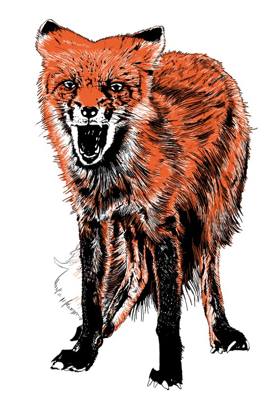 Angry Fox (color) Art Print