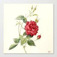 Botanical study - Rose Canvas Print