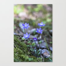 Anemone in forest Canvas Print