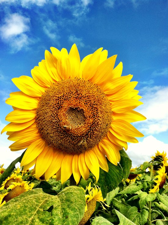 Happy Sunflower  Art Print