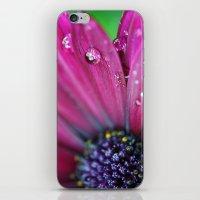 Purple Osteospermum Macro iPhone & iPod Skin