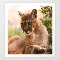 The Cougar Art Print