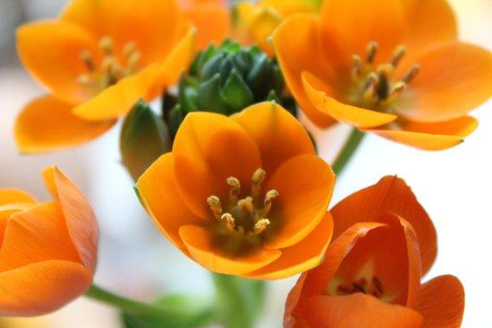 Ornithogalum, the flower of hope Art Print