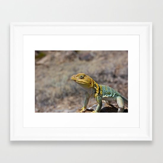 Collared Lizard 2 Framed Art Print
