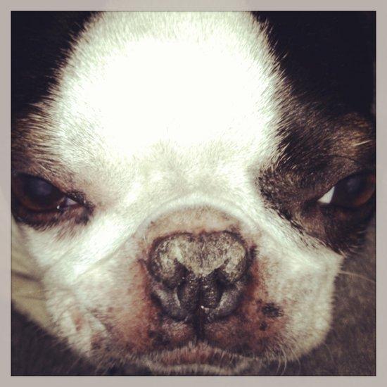 Boston Terrier Face Art Print