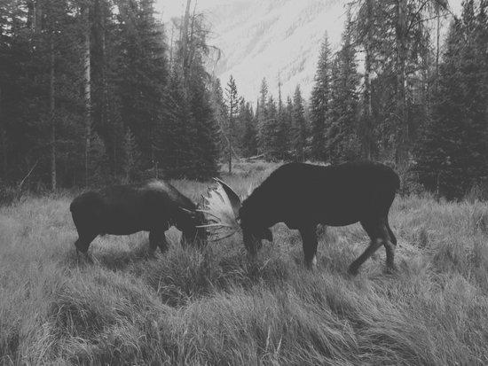 Moose Battle Canvas Print