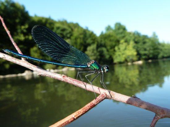 Blu dragonfly Art Print