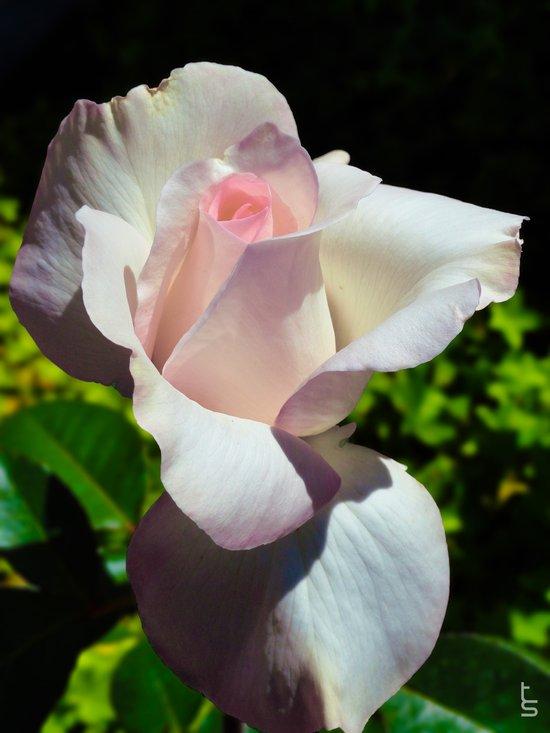 Light Pink Rose I Art Print