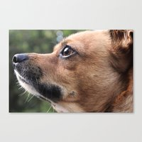 Brown Chihuahua  Canvas Print