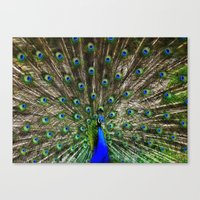 Peacock Flaunting  Canvas Print
