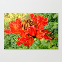 The African Tulip Tree Canvas Print