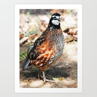 Northern Bobwhite Art Print