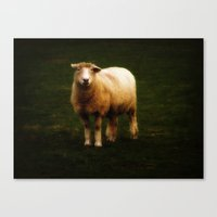 Corriedale Canvas Print