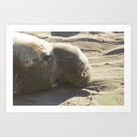 Elephant Seal: Contemplation Art Print