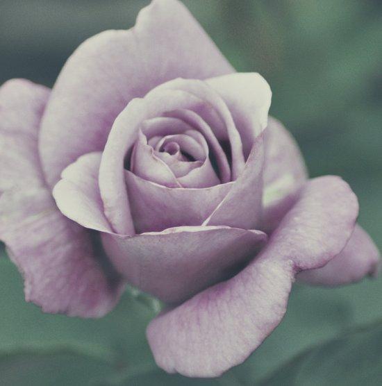 Rose in violet Art Print