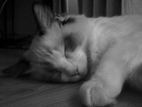 Sleeping ragdoll cat. Art Print