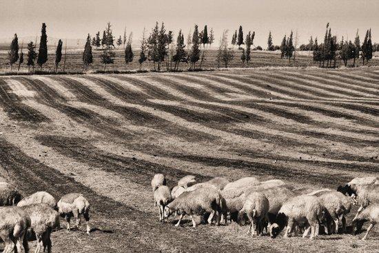 Sheep (sepia) Art Print