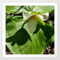 Shadow of a White Trillium Art Print