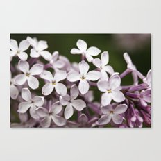 Lilac blossoms Canvas Print